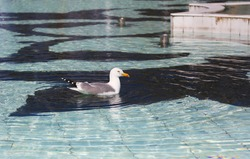 seagull swimming in the water