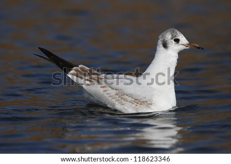Seagull swims on the surface of water.