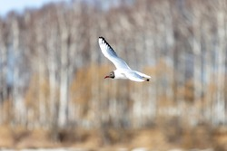 Seagull, tern flies in front of the trees