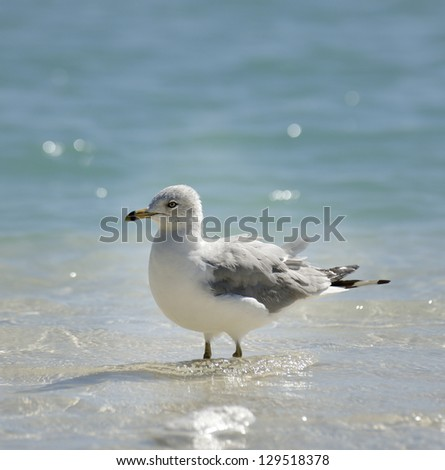 Seagull Walking In The Water