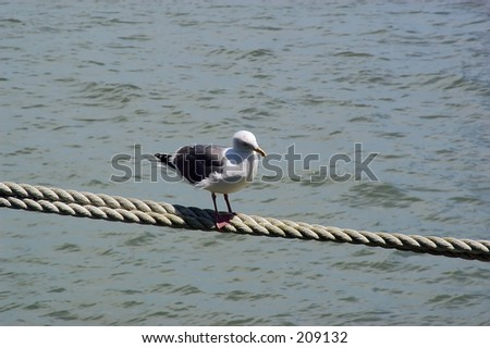 Seagull walking on suspended rope
