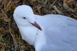 Seagull with a hook stuck in its beak and fishing line wrapped around its legs