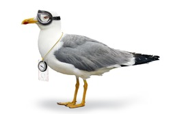 Seagull with goggles of pilot and compass