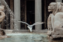 Seagull with open wings drinking water from the fountain with a background of Pantheon, Rome, Italy