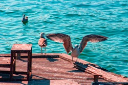 Seagull with opened wings and blurry sea and birds background at Prince islands/ Buyukada Istanbul-Turkey