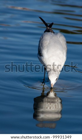 Seagull With Reflection in Water