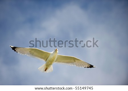 Seagull with spread wings in flight