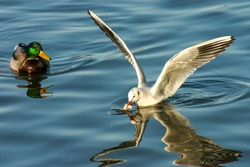 seagull with spread wings swimming on the river, feeding birds