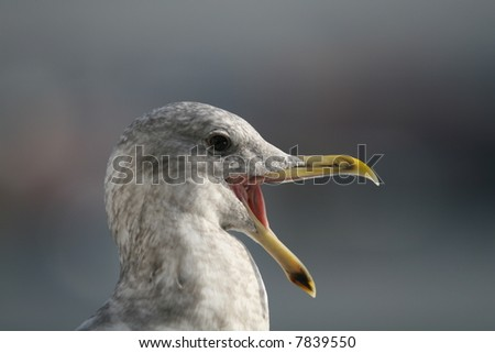 Seagull With Wide Open Beak