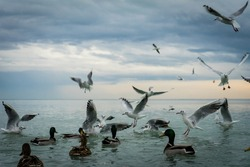 seagulls and duck fight for a piece of bread, birds fight, competition for food on the lake, battle for the crumb
