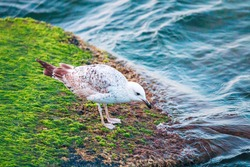 Seagulls are monogamous birds that mate for life and breed once a year and have certain breeding seasons lasting for three to five months. Couple collects plant material and builds nest together