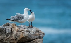 seagulls at the rocky shore of the indian ocean in south Africa -lloking as they are a family or a couple for eternity