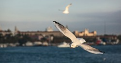 Seagulls, Bosphorus. In the background Selimiye Barracks and Marmara University Faculty of Law (Empire doener architecture), Istanbul (Turkey) in November 2018.