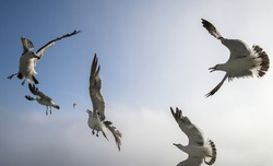 Seagulls catch pieces of meat in the air.