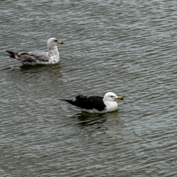 Seagulls chilling in the water. Birds relaxing in the water in Lithuania.