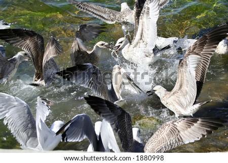 Seagulls eating