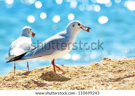 Seagulls eating bread