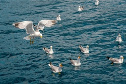 Seagulls fighting for bread pieces being thrown into the sea. Flock of seagulls flying over on the seashore, close up photo of the seagull. High quality photo