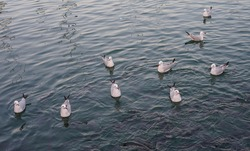Seagulls floating on the sea making a line. Animals waiting for hunt. Shoal of fish are on the water surface