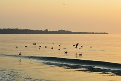 Seagulls flock in calm sea at sunrise, Ravda Resort, Bulgaria