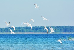 Seagulls fly over lake