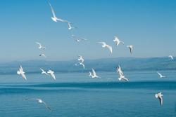 Seagulls flying by the Kinneret lake near Tiberias in Israel.
