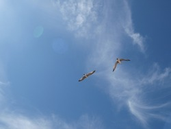 Seagulls flying high in the blue sky