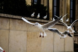 Seagulls flying in Paris France