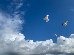 Seagulls flying in the blue sky, one isolated seagull in blue background, flying bird in the sky,white isolated bird in the blue clear sky background, birds flying up. Birds in movement