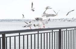 Seagulls flying in the sky over the river. Seagulls in port. River birds wildlife