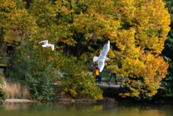 Seagulls flying on a lake with trees on background in automn (Parc Montsouris, Paris, France)