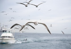 Seagulls flying over the ocean with fishing boat