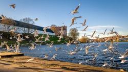 Seagulls Flying over the Promenade in the City Center of Kolding, Denmak