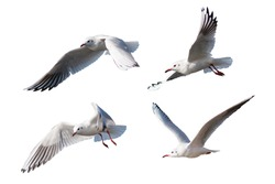 Seagulls flying style Isolated on white background,clipping path.