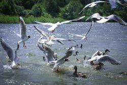 Seagulls In Flight On Lake. Duck, seagull.