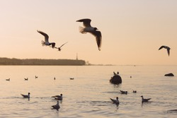 Seagulls in flight over the Gulf of Finland at sunset. Frozen movement of birds. Seascape in the evening. Peterhof