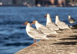Seagulls in St. Petersburg near the Neva on the parapet of the embankment