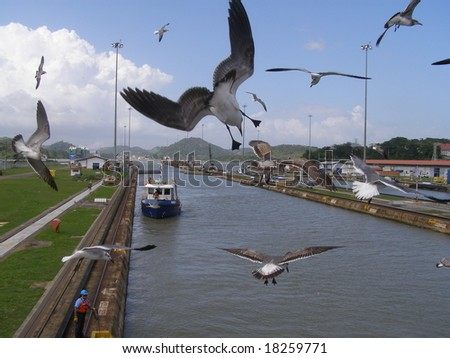Seagulls in the Panama Canal