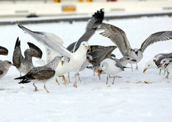 seagulls in the snow - stock photo