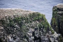 Seagulls nesting on cliffs of Mykines, Faroe Islands.