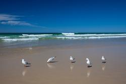 Seagulls on the beach (Gold Coast, Queensland, Australia)