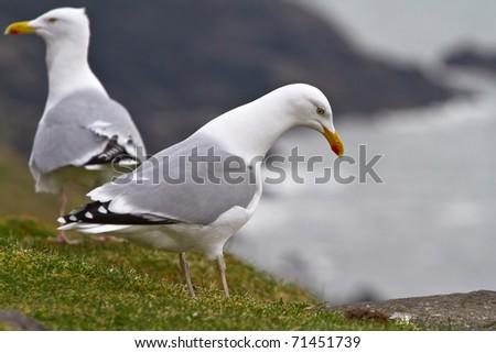 Seagulls on the irish coast - Co. Kerry - stock photo