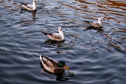 Seagulls on the water. Birds in the sea. Beautiful birds swim in the river.