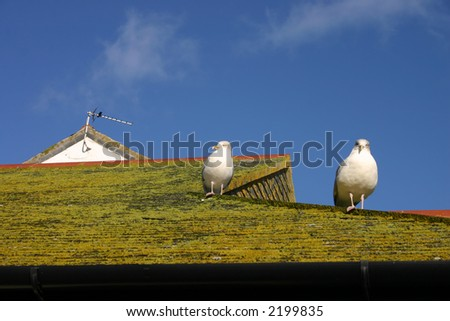 Seagulls perched on a roof looking for food, St. Ives, Cornwall.