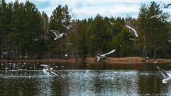 Seagulls soaring over a lake with pine trees in the background