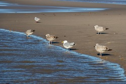 Seagulls spaced out on a sandy beach at the edge of a pool of water on a bright day