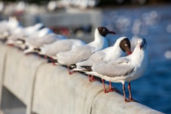 Seagulls standing at Sukta Bridge, Bangpu, Samut Prakan, Province, Thailand, Larus brunnicephalus, Close up shot, Select focus, Birds photography travel