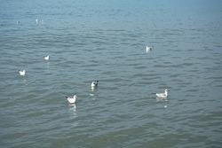 Seagulls swim in the sea on the water. Horizontal photo