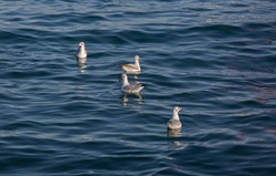 Seagulls swimming in the beautiful blue sea with waves. Wild birds in a natural habitat. Close-up, bird-watching