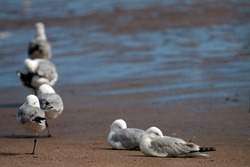 Seagulls taking a rest on a sandy shore of a river estuary with water in the background